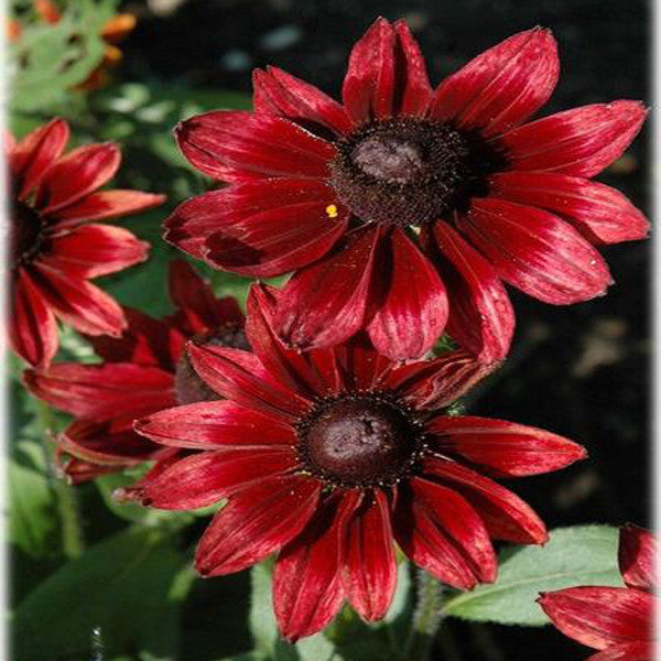 New 50seedspack cherry brandy rudbeckia flower seeds perennial new 50seedspack cherry brandy rudbeckia flower seeds perennial mightylinksfo