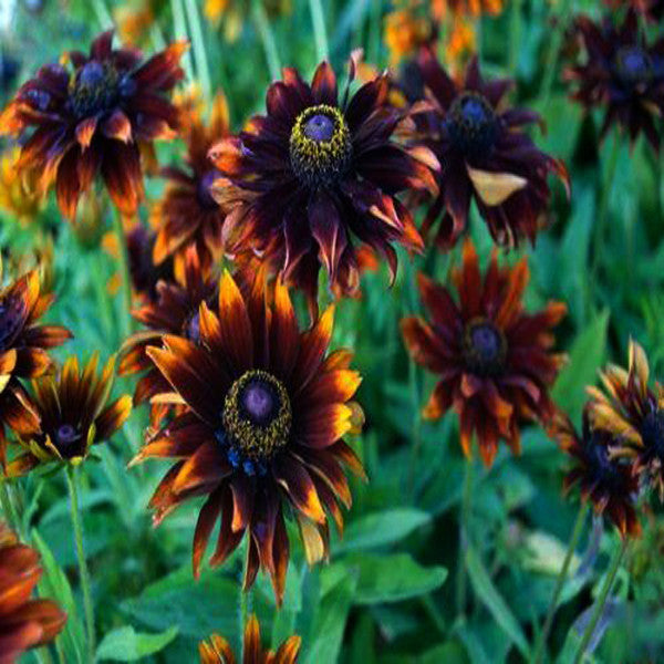 New! 30+seeds/pack Rudbeckia Moreno Flower Seeds  Garden Decoration Bonsai Flower Seeds
