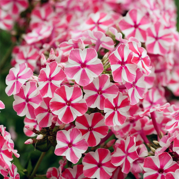 New Arrival Home Garden Plants 100 Seeds Outdoor perennial PHLOX seeds,planting Phlox Flower Seeds Free Shipping 100% Genuine 9