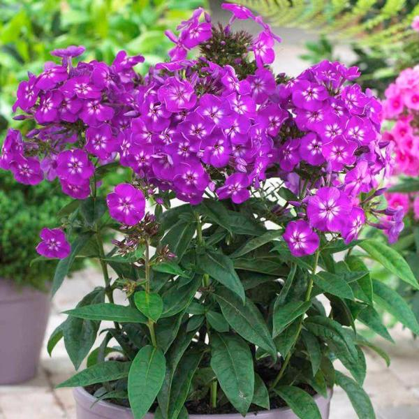 Home Garden Plants 100 Seeds Outdoor perennial PHLOX seeds,planting Phlox Flower Seeds 5