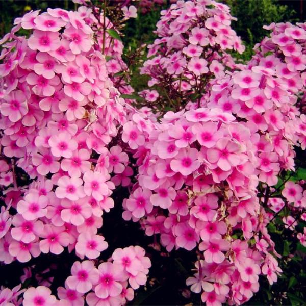 New Arrival Home Garden Plants 100 Seeds Outdoor perennial PHLOX seeds,planting Phlox Flower Seeds Free Shipping 100% Genuine 8