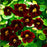 New Fresh Seeds TRUE 100seeds/Bag Fresh Tropaeolum majus Nasturtium Seeds Easy Planting flower semillas,#4T45R2 Black