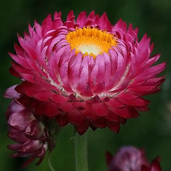 New Home Garden Plant 20 Seeds TALL DOUBLE Purple STRAWFLOWER Helichrysum Seeds Free Shipping
