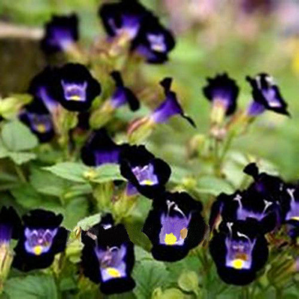Torenia Fournieri Flowers Seeds