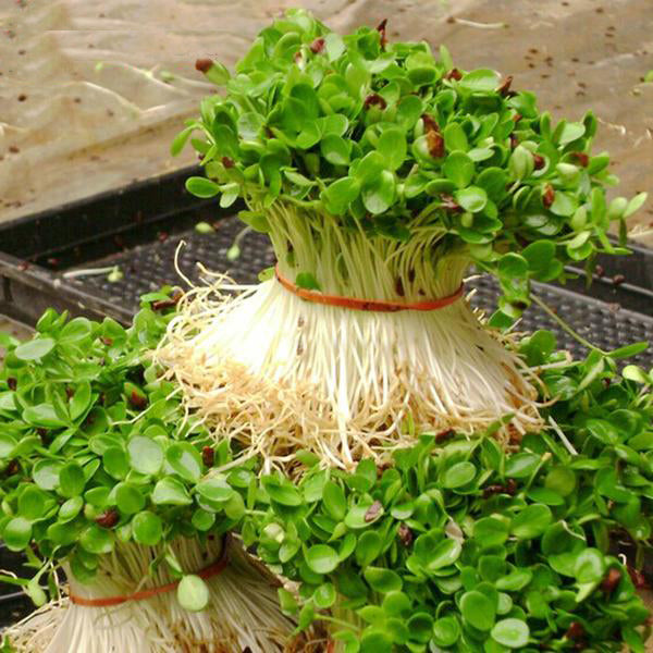 Radish Sprouts Seeds