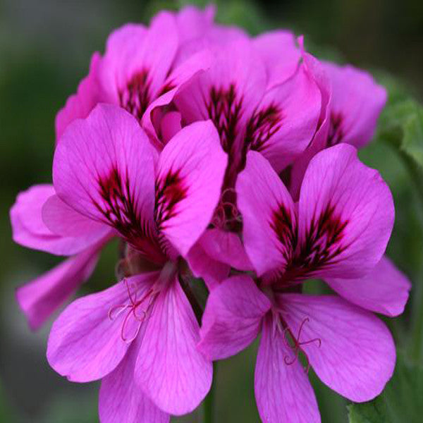 Pelargonium Flower Seeds