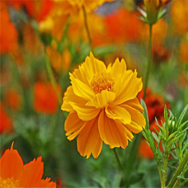 Yellow Orange Mix Cosmos Bipinnatus Seeds