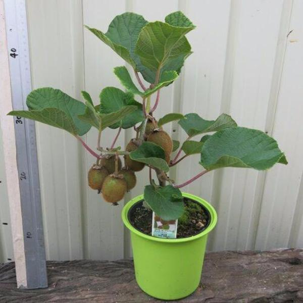 Kiwi Fruit Plotted Plant Seeds - 100 Pcs