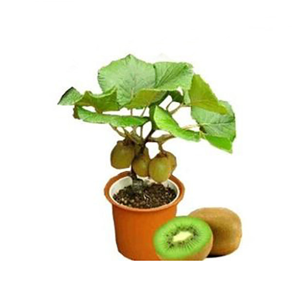 Kiwi Fruit Plotted Plant Seeds