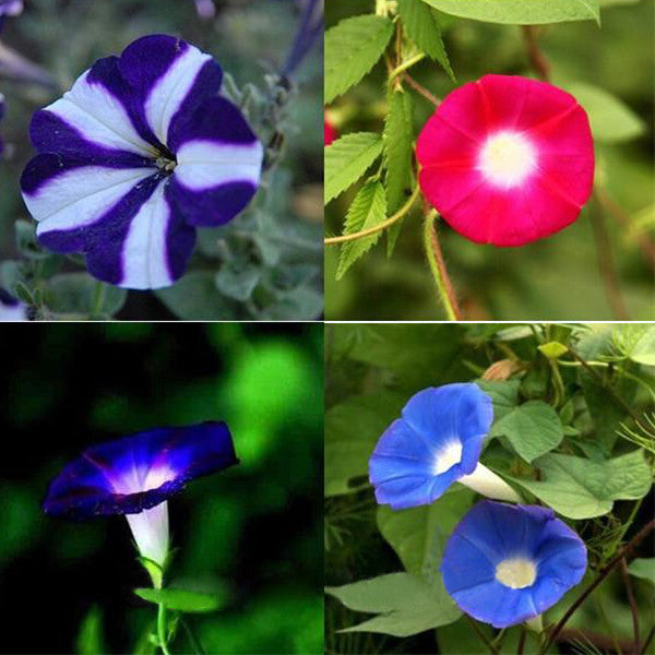Pink Blue Ipomoea Morning Glory Seeds
