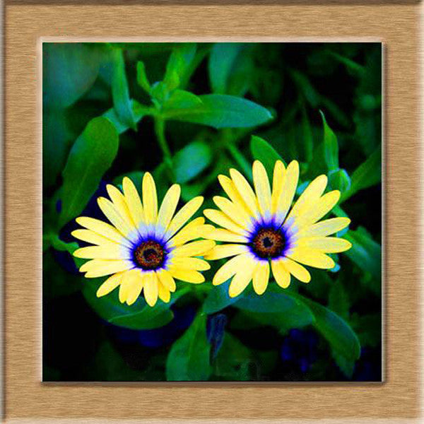 Yellow Daisy Flower Seeds