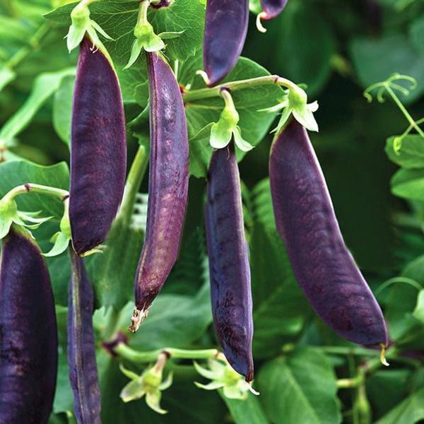 Purple Sweet Pea Seeds