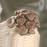 white button Mushroom seeds