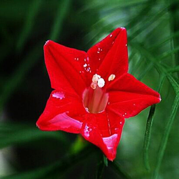 Cypress Vine Flower
