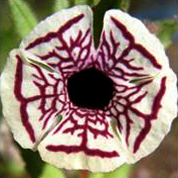 Rare Calico Monkey Flower