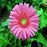 Rare Gerbera Seeds, 10 kinds 100 Mix Colors Flower Seeds, High survival Rate for Home and Garden. 2