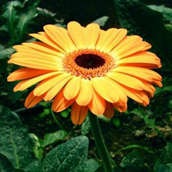 Rare Gerbera Seeds, 10 kinds 100 Mix Colors Flower Seeds, High survival Rate for Home and Garden. 3