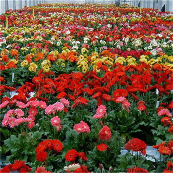 Rare Gerbera Seeds, 10 kinds 100 Mix Colors Flower Seeds, High survival Rate for Home and Garden. 8
