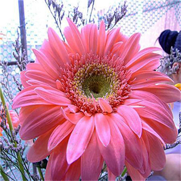 Rare Gerbera Seeds, 10 kinds 100 Mix Colors Flower Seeds, High survival Rate for Home and Garden. 11