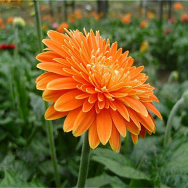Rare Gerbera Seeds, 10 kinds 100 Mix Colors Flower Seeds, High survival Rate for Home and Garden. 6