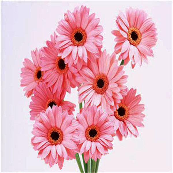Mixed Colors Rare Gerbera Seeds
