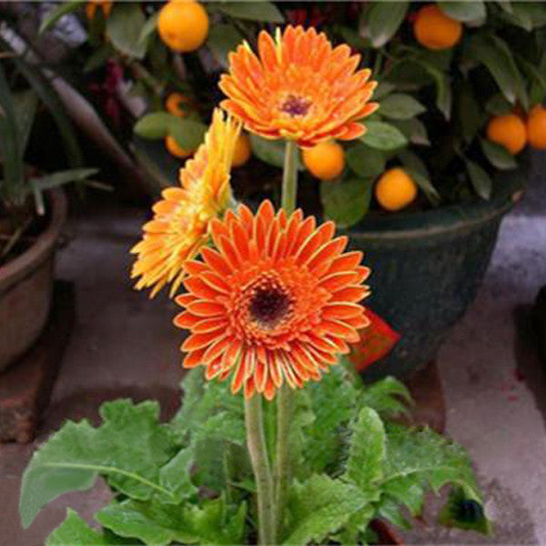 Orange Rare Gerbera Seeds