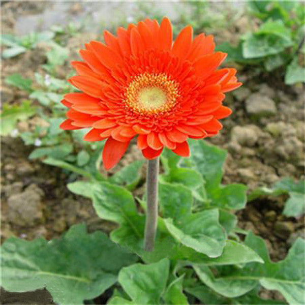 Rare Gerbera Seeds, 10 kinds 100 Mix Colors Flower Seeds, High survival Rate for Home and Garden. 9