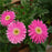 Rare Gerbera Seeds, 10 kinds 100 Mix Colors Flower Seeds, High survival Rate for Home and Garden. 12