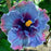Giant Dark Blue Mix Hibiscus Exotic Coral Flowers Seeds