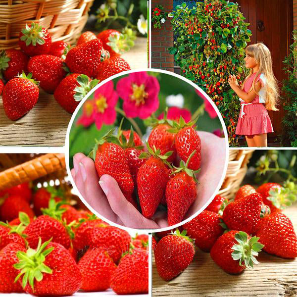 Red Climbing Strawberry Seeds