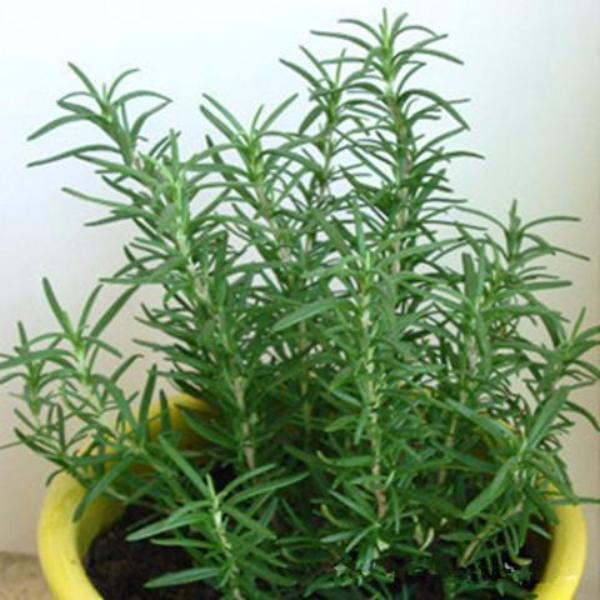 Rosemary (5 Seeds) - Rama Deals - 6