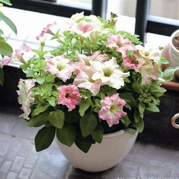 White Pink Scarce Rare Phantom Petunia Flower Seeds