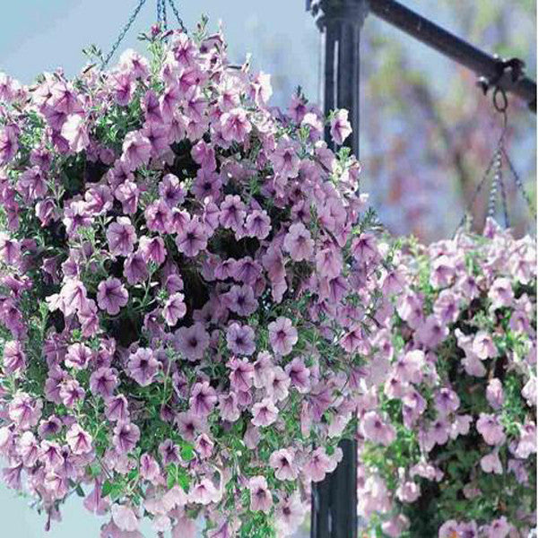 Pink Purple Scarce Rare Phantom Petunia Flower Seeds