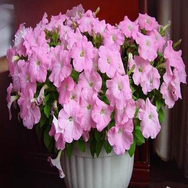 Light Pink Scarce Rare Phantom Petunia Flower Seeds