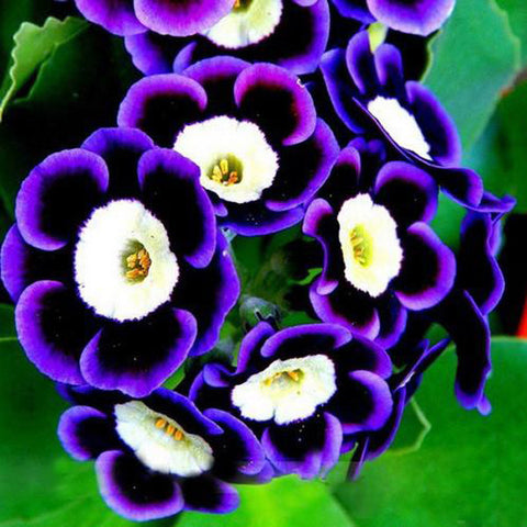 Black Purple Scarce Rare Phantom Petunia Flower Seeds