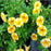 Yellow Scarce Rare Phantom Petunia Flower Seeds