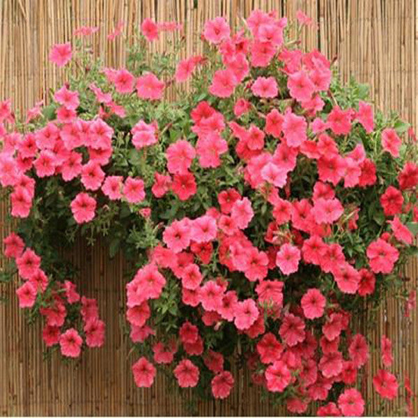 Pink Scarce Rare Phantom Petunia Flower Seeds
