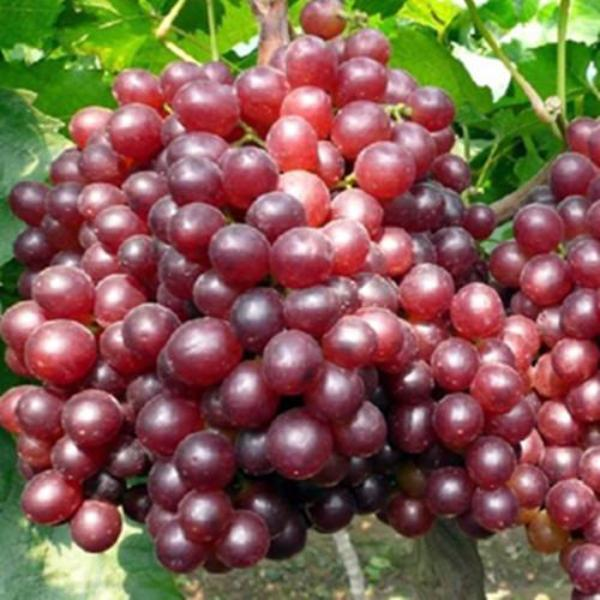 Red Kyoho Grape Seeds
