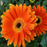 Rare Gerbera Seeds, 10 kinds 100 Mix Colors Flower Seeds, High survival Rate for Home and Garden. 4