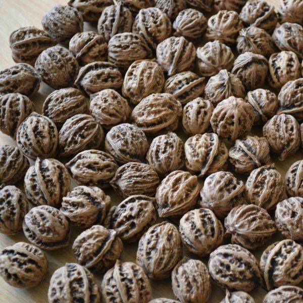 Pecan Walnut Tree Seed