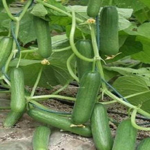 Thorn-less Mini Cucumber Seeds
