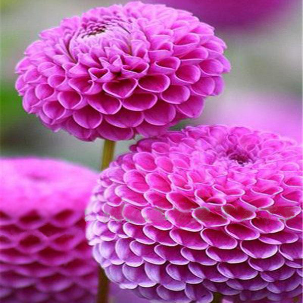 Flowers To Grow In Small Pots: Small Zinnia Flower Seeds