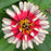White and Red Small Zinnia Flower Seeds