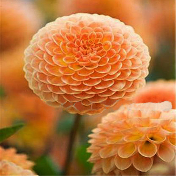Orange Small Zinnia Flower Seeds