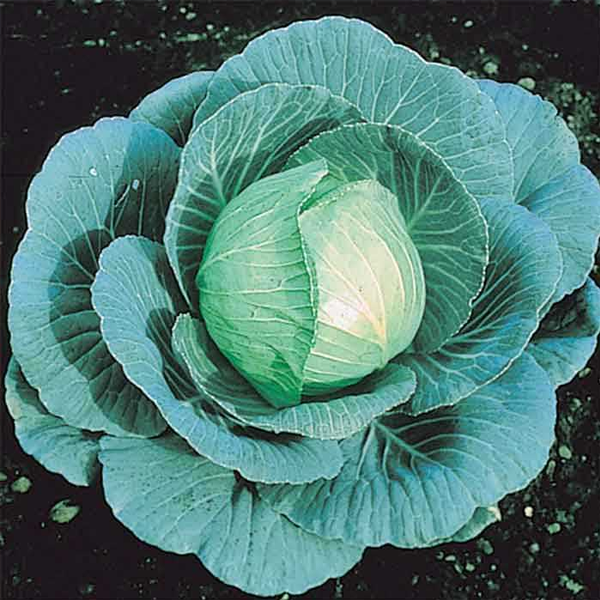 Spring Green Cabbage Seeds
