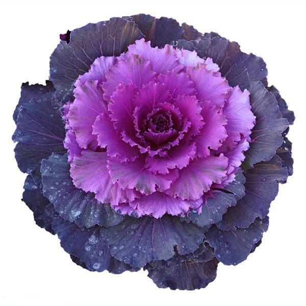 Purple Kale Seeds Jack Seeds