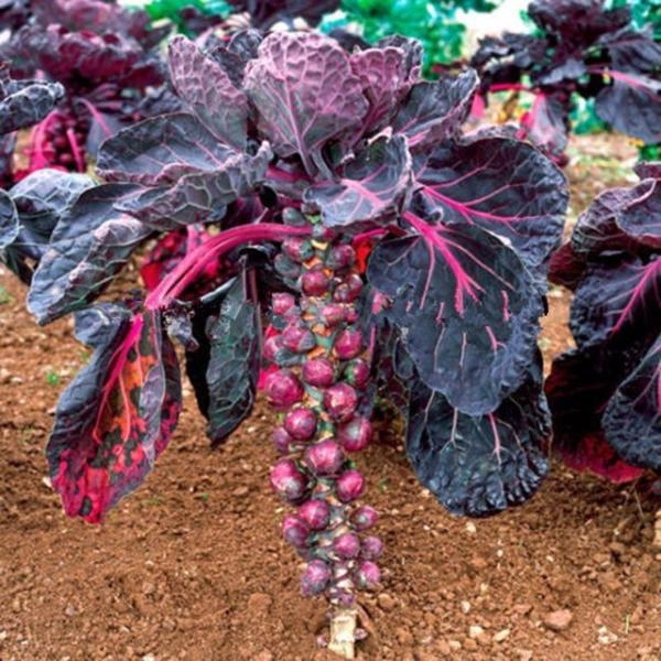 Purple Thousand-headed Cabbage Seeds
