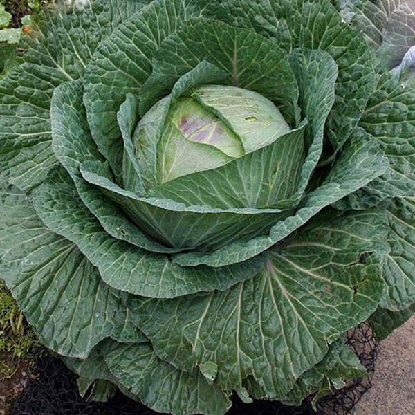 Giant Russian Cabbage Seeds