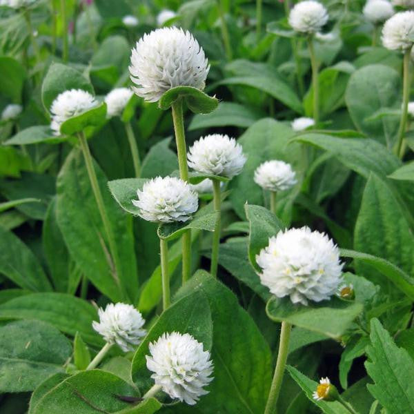 Gomphrena White Flower Seeds