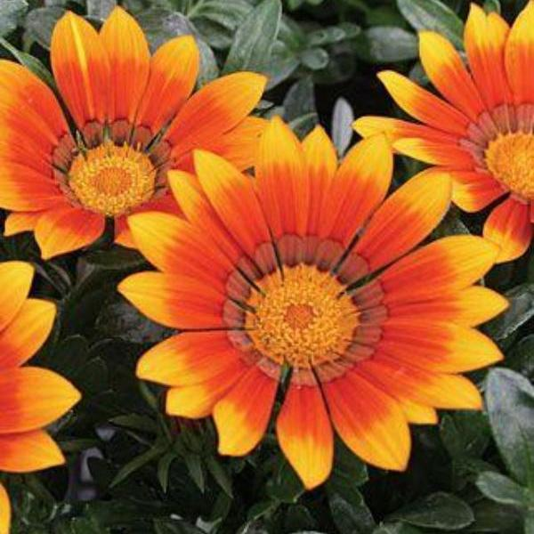 Gazania Tulip Sunflower Seeds